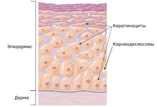 derma-i-epidermis_s.jpg